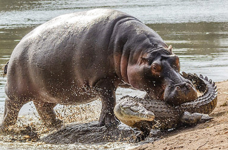 Angry Hippo Mom Viciously Attacks Crocodile For Trying To